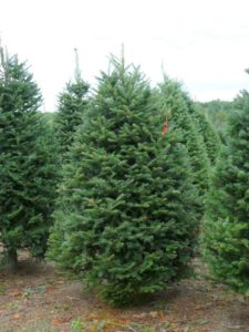 balsam-fir-christmas-tree